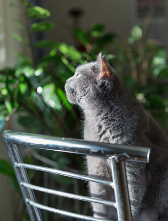 Scottish purebred gray cat is sitting on a metal chair closeup Фото со стока