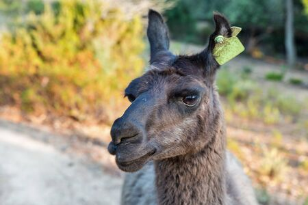 Blackl single adult llama closeup on Corsica island, France.