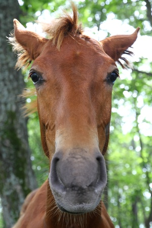 Muzzle red foal in forest photo