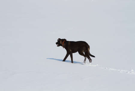 black dog running in the snow photo