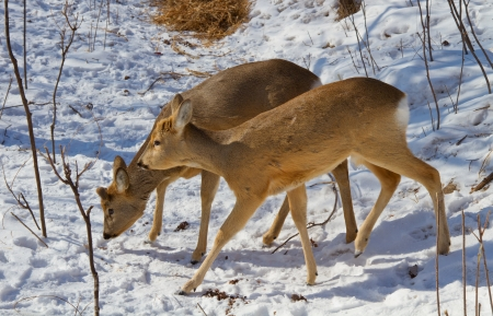 Roe deer in the winter forest in the Far East of Russia Stock Photo