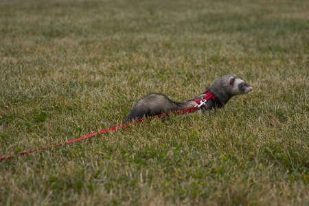 Little ferret hiding in a grass