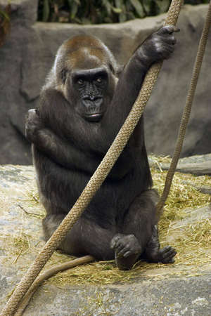 Sad Gorilla in Brookfield zoo Stock Photo