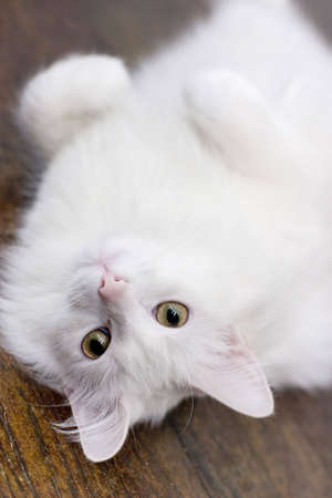 White cat laying on the floor Stock Photo