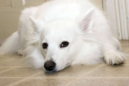 Portrait of American Eskimo dog Stock Photo