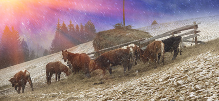 sleet: Pasture in a blizzard. In March-April after a winter in the mountains of unstable weather, and replaced by the warmth, the sun can come quickly alpine cold, strong wind and sleet and then freezing horses and cows on pasture