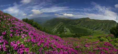 Spring and summer under the alpine peaks of the Tatra Mountains and the Carpathians turn red slopes whole-blooming rhododendron.