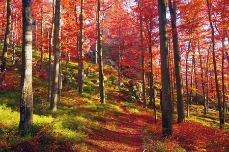 On the highland forests of the Carpathians in Ukraine comes the golden autumn with its fantastic colors, covering forest and poloniny.Krasnye and orange, purple beech forests are very beautiful colors