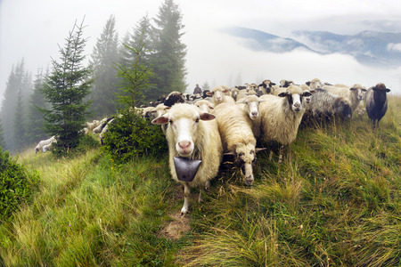 highlanders: cold morning in misty mountains, shepherds kicked sheep graze on the mountain meadows in wild forests of Ukraine. Traditional economy Ukrainian highlanders - Hutsuls very picturesque Stock Photo