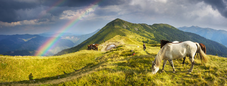 Ukraine, Kolochava, August 7, 2015: Grazing wild horses on the slopes of the mountain peaks in the morning  evening, on a hot summer day. Shepherds herd of Ukrainian Hutsul released into the mountains without a guard to fall