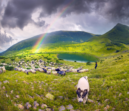 highlanders: High in the mountains at sunset shepherds graze cattle among the panorama of wild forests  fields of the Carpathians. Sheep provide wool, milk  meat for agriculture Traditional economy Highlanders