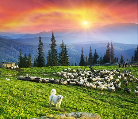 高山サンセット羊飼いのカルパティア山脈の野生の森林フィールドのパノラマの中で牛を放牧します。羊は羊毛、伝統的な経済ハイランダーズ農業 写真素材