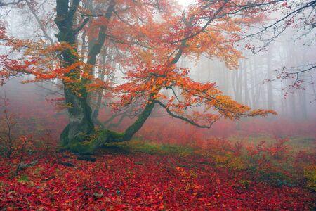 belles couleurs délicates de l'automne sur un fond des forêts sauvages des Carpates ukrainiennes, la brume artistique et les rayons du soleil qui brille parmi les troncs épais tapis de feuilles qui tombent sur le sol