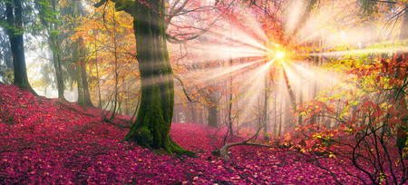 Delicate beautiful colors of autumn on a background of wild forests of the Ukrainian Carpathians, artistic haze and the sun's rays, shining among the trunks, thick carpet of leaves falling on the ground