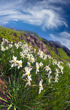 The mountain system Marmarosh - Ukrainian Alps at high altitudes among rocks and rhododendron wasteland grow beautiful wild daffodils with a delicate aroma of dewdrops