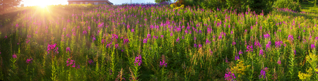 glades: In summer, in July, in the Carpathian Mountains of Montenegro under the beautiful flowers bloom - willow-herb. Glades gentle rays of sunrise give color, giving a magical charm of dawn