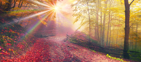 Delicate beautiful colors of autumn on a background of wild forests of the Ukrainian Carpathians, artistic haze the sun's rays, shining among the trunks, thick carpet of leaves falling on the ground