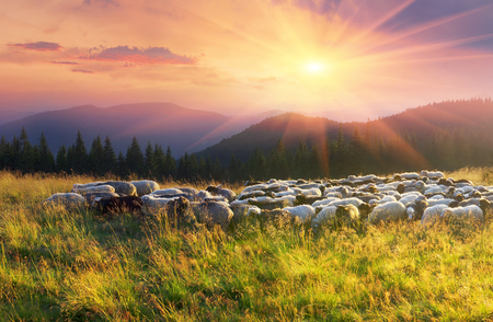 Ukraine, Vorohta. High in the mountains at sunset shepherds graze cattle among the panorama of wild forests and fields of the Carpathians. Sheep provide wool, milk and meat for agriculture Stock Photo