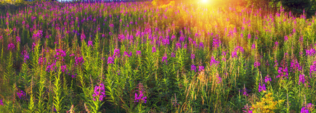 In summer, in July, in the Carpathian Mountains of Montenegro under the beautiful flowers bloom - willow-herb. Glades gentle rays of sunrise give color, giving a magical charm of dawn