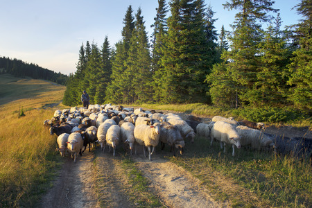 Ukraine, Vorohta- July 27, 2015: High in the mountains of the shepherds graze sheep in the midst of the Carpathians. The herd is on a rural road on the background peaks in the mountain pasture Stock Photo