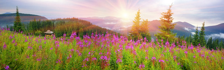 angustifolium: In summer, in July, in the Carpathian Mountains of Montenegro under the beautiful flowers bloom - willow-herb. On meadows above the forest after the rain mist, giving the magic charm of dawn