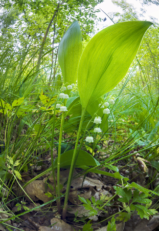 Lilies of the valley after the rain covered with sparkling dew kapelkami leaves collect moisture. Growing up in an oak birch forest on a background of grass in May pleasant fragrance odor