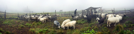 Ukraine, Vorohta- July 28, 2015: High in the mountains of the shepherds of the Carpathians - Hutsuls milk sheep. Special paddock with shelter for people.Sheep licking salt