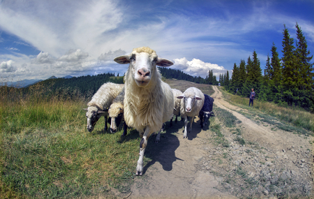 Ukraine, Vorohta- July 27, 2015: High in the mountains of the shepherds graze sheep in the midst of the Carpathians. The herd is on a rural road on the background peaks in the mountain pasture Editorial