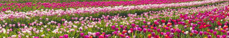 bulb fields: Chernivtsi region of Ukraine near the mountains farmer grows beautiful tulips Dutch European varieties. Organic farming on the background of modern technology the beauty of nature in spring Stock Photo