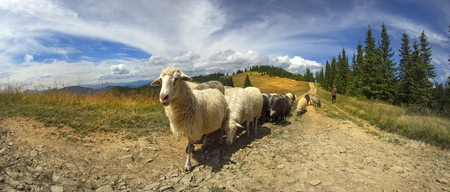 Ukraine, Vorohta- July 27, 2015: High in the mountains at sunset shepherds graze cattle among the panorama of wild forests and fields of the Carpathians. Sheep provide wool, milk and meat for agriculture
