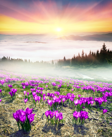 very cold: After a cold winter in the Carpathians snow melts and there are fabulous fantastic flowers - crocuses crocuses, their bells to the sun. Against the backdrop of high peaks is very beautiful
