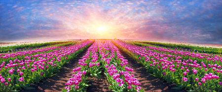 Tourists and vacationers gather on weekends to admire the background of beautiful Dutch tulips. Grow Ukrainian farmers with modern organic technologies. Ukraine, Chernivtsi