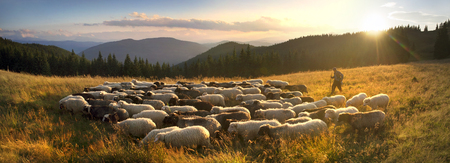 Ukraine, Vorohta- July 28, 2015: High in the mountains at sunset shepherds graze cattle among the panorama of wild forests and fields of the Carpathians. Sheep provide wool, milk and meat for agriculture Editorial