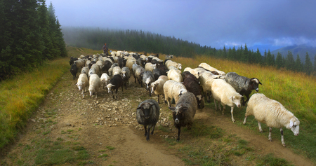 Ukraine, Vorohta- July 28, 2015: High in the mountains shepherds graze cattle among the panorama of wild forests and fields of the Carpathians. After the rain is a beautiful mist at dawn. Sheep provide wool and milk, meat