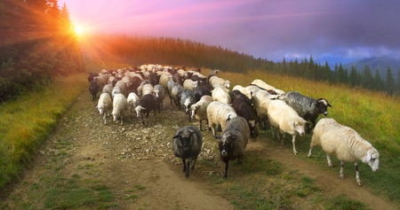 Ukraine, Vorohta. High in the mountains shepherds graze cattle among the panorama of wild forests and fields of the Carpathians. After the rain is a beautiful mist at dawn. Sheep provide wool and milk, meat