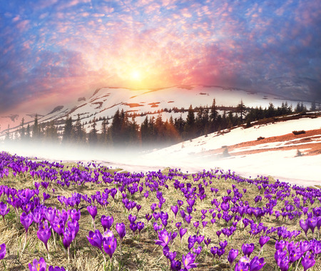 Once come snow- magic grow Polyanthus crocus crocuses in Ukrainian Carpathians and Eastern Europe. Alpine pastures are covered magic carpet of delicate bells with a beautiful aroma