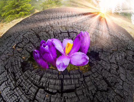 Once come snow magic grow Polyanthus crocus crocuses in Ukrainian Carpathians Eastern Europe.terrible fire of the old forest covered magic carpet of delicate bells with a beautiful aroma Stock Photo