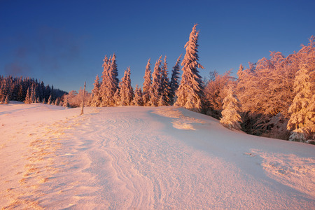 radiance: Ukraine, Carpathians strong snowstorm covered the mountains of sugar crust, like frosting. The gentle radiance glow of sunrise in a landscape decorated with a picture of harsh wilderness