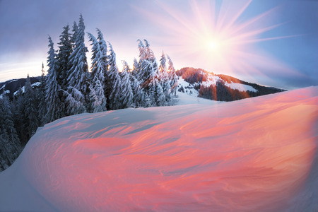 Ukraine, Carpathians strong snowstorm covered the mountains of sugar crust, like frosting. The gentle radiance glow of sunrise in a landscape decorated with a picture of harsh wilderness
