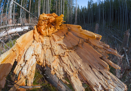 destruction after Hurricane in the Carpathians. Strong wind broke the forest tree trunks shone fresh wound on a background of mountains. Bright color disturbingly reminiscent of the storm Stock Photo