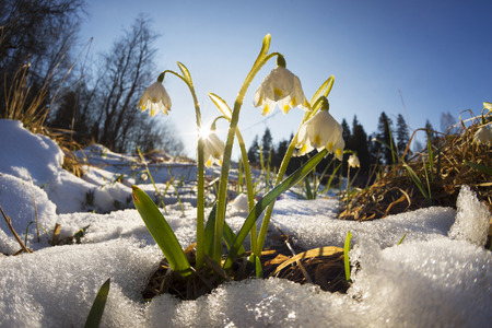 Snow melts with the arrival of the heat in the forests of the Carpathian Ukraine there are the first delicate flowers primroses snowdrops grow near creeks, swamps to wet soils are listed in the Red Book