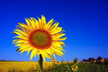mined: A field of sunflowers against a blue summer sky symbolizes the sun and harvest, peace and light. The seeds are traditionally mined fragrant sunflower oil for human consumption Stock Photo