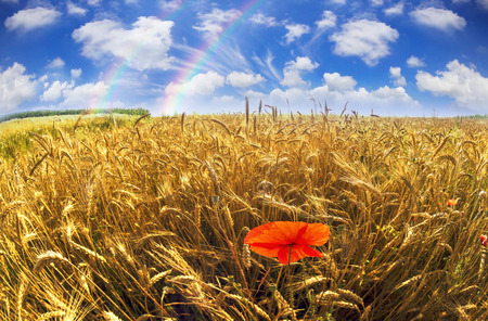 Wheatfield symbol of the flag of Ukraine, the yellow-blue color of the sky and bread. Beautiful sunny flavor, pure and peaceful land of sky against a background of good ecology