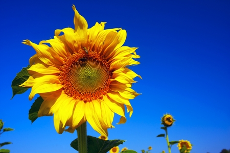 A field of sunflowers against a blue summer sky symbolizes the sun and harvest, peace and light. The seeds are traditionally mined fragrant sunflower oil for human consumption Stock Photo