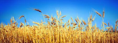 Wheatfield símbolo de la bandera de Ucrania, el color amarillo-azul del cielo y el pan. Hermoso sabor soleado, tierra del cielo puro y pacífico sobre un fondo de buena ecología