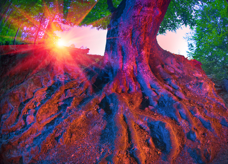 emphasized: Picturesque beech night illuminated diode lights for an unusual photo. Strong roots of an old tree emphasized light and color in the night forest Carpathian Mountains in Ukraine