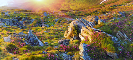 Alpine meadows in the spring, in May Chornogory decorated with bright beautiful mountain rododendronov- colors- pink, scarlet, roses and purple, rising above the forest among the rocks, moss and creeping shrubs
