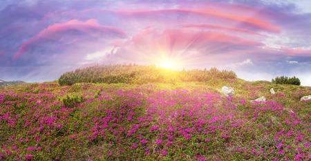 高山草原、春 5 月に Chornogory で飾られた明るい美しい山 rododendronov-色-ピンク、スカーレット、バラと紫、岩・苔・匍匐性低木の森林上の上昇
