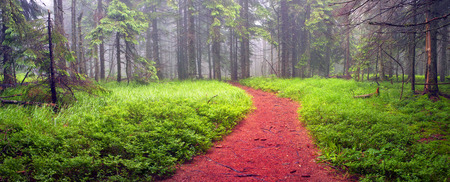 Panoramic landscape of an autumn fir forest in the rain at dawn. Deserted footpath goes into the misty distance, dew hanging on every twig and grass, melancholy and serenity in the air Stock Photo