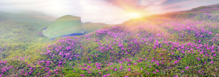 Alpine meadows in the spring, in May Chornogory decorated with bright beautiful mountain rododendronov- colors- pink, scarlet, roses and purple, rising above the forest among the rocks, moss and creeping shrubs Banco de Imagens